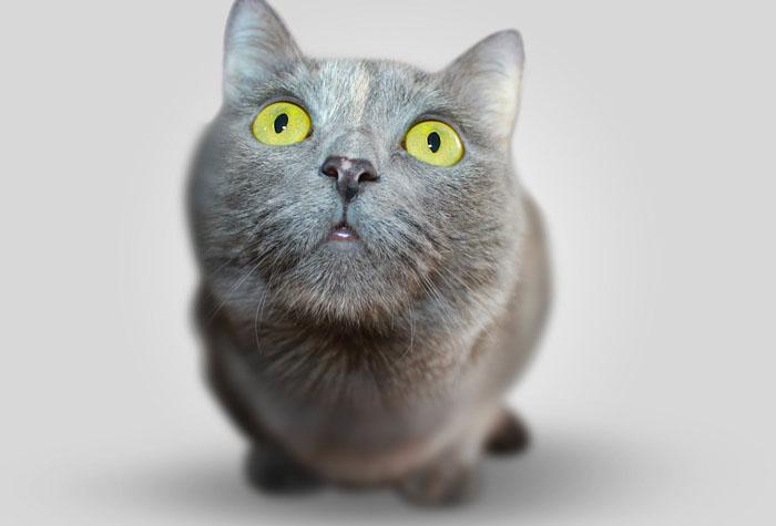 A grey cat against a grey background.